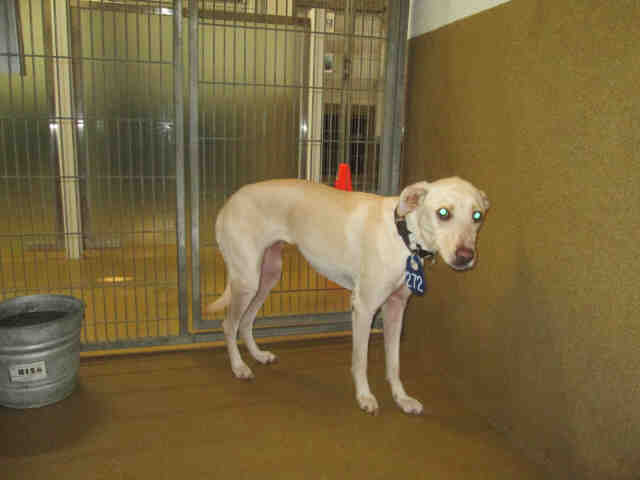 Located in the North Animal County Shelter in San Diego. 2 Year old male Whippet looking for love and to give you lots of love. Still in puppy range. What a Beauty!