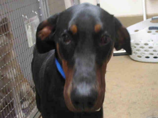 Doberman-Adopt a Dog San Diego